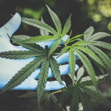 """Cannabis terapeutica: raddoppiati i fondi statali per la produzione e l'importazione. Magi (Radicali): """"L'approvazione al mio emendamento è un piccolo grande segnale""""…"""