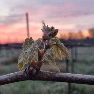 Maltempo: Cia, in Emilia-Romagna e Veneto le gelate danneggiano vigneti e alberi da frutto