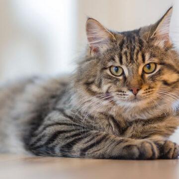 Gatti: non sempre sono distanti