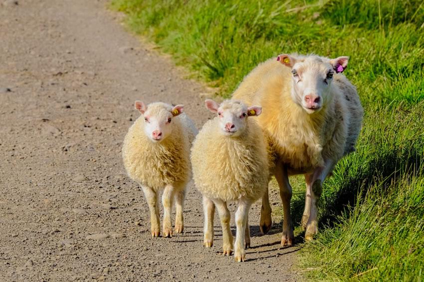 La questione del branco di pecore