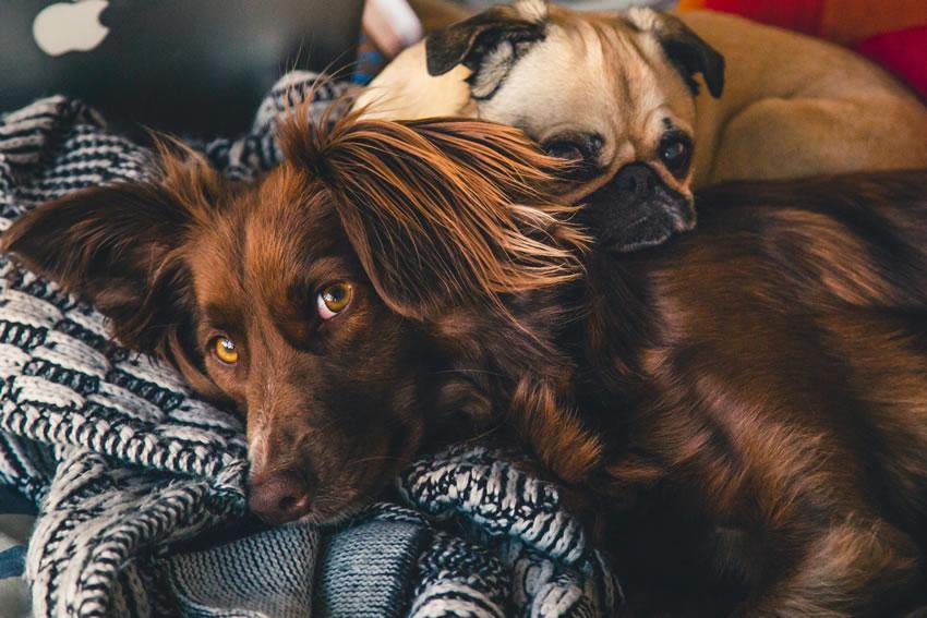 Cancro del cane: la cannabis terapeutica come cura