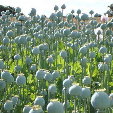 Afghanistan: i talebani vogliono proibire la coltivazione di papavero da oppio